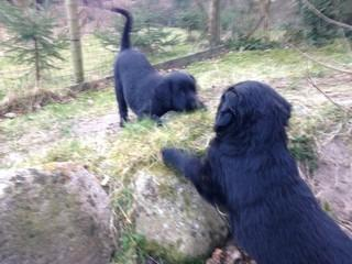 Puppies In February 2020 From Midde Og Mudlers Quid
